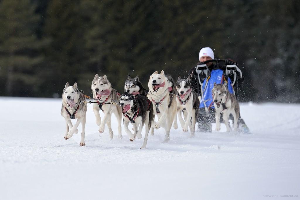 Schlittenhunde WM Scharnitz 2015 4